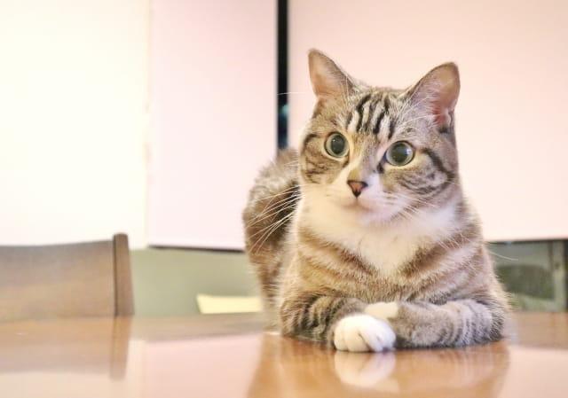 聞いている猫